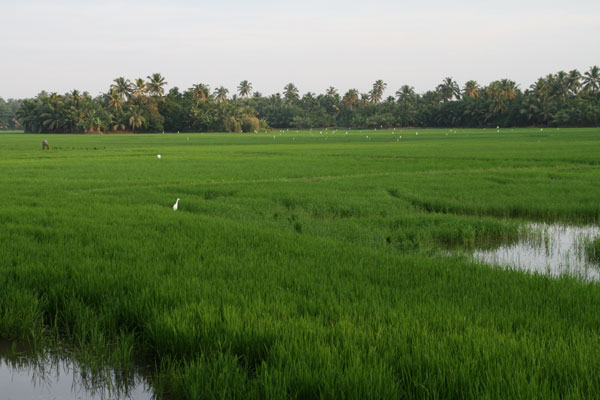 Kerala Paddy Fields near Greenpalm Homes