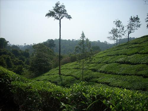 Wayanad Tea Plantations. Photo by @aztonyx